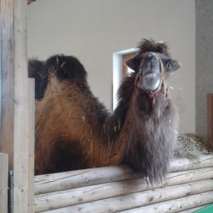 Kamel Franziska auf Gut Aiderbichl